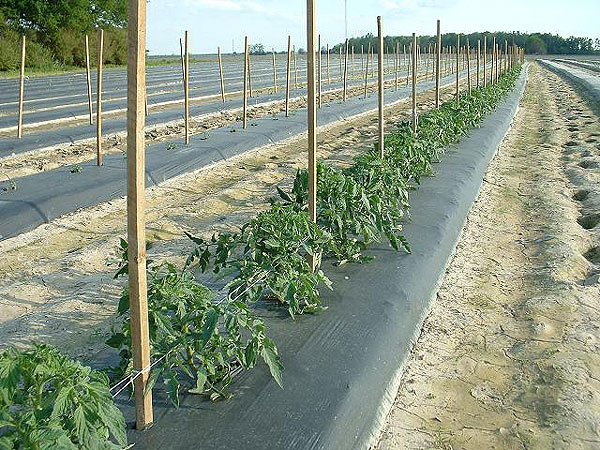 Tomato plants in the fields