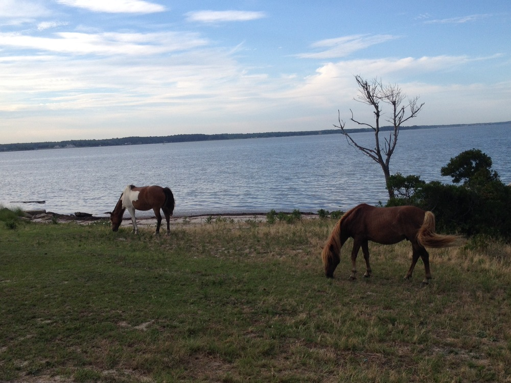 Wild ponies on Assateague Island